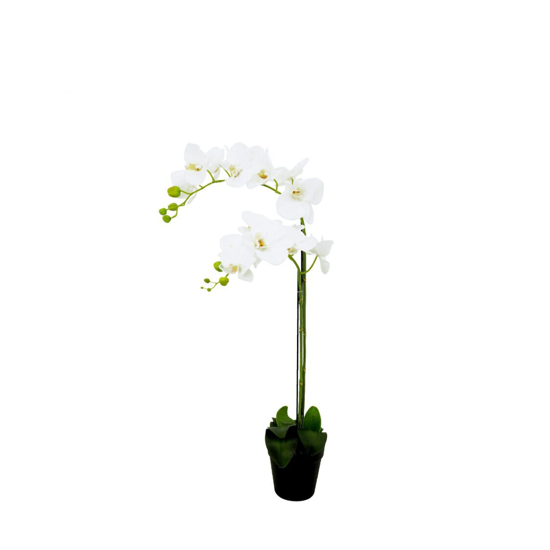 Pollyanna 2 Stalk Potted White Orchid