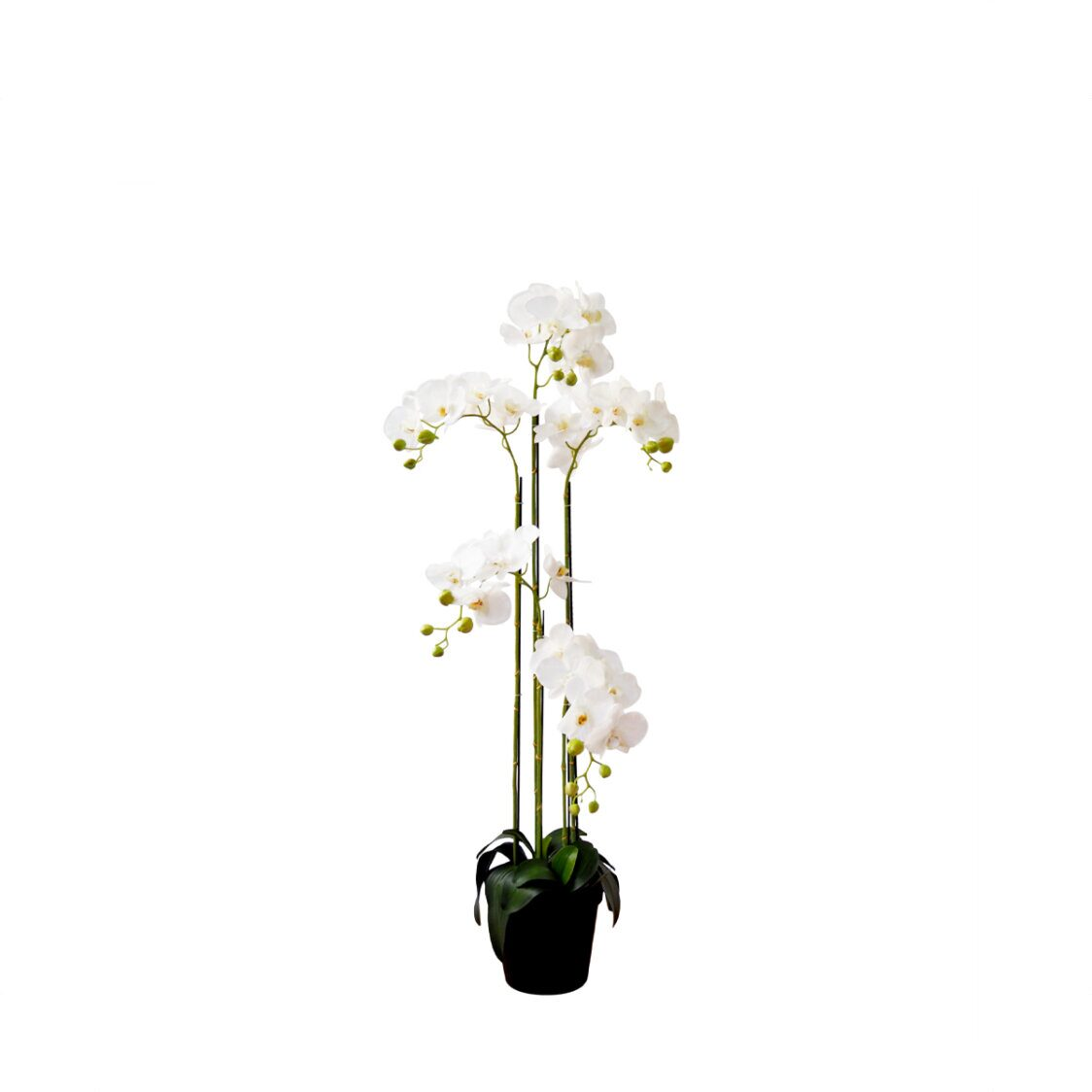 Pollyanna 5 Stalk Potted White Orchid